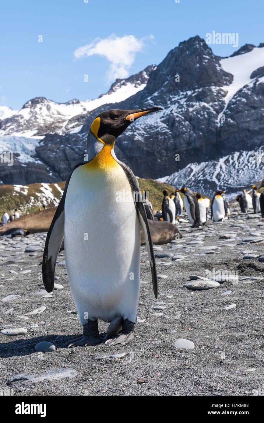 Pinguino reale (Aptenodytes patagonicus) colonia su una spiaggia con elefante guarnizioni (Mirounga Leonina) Foto Stock