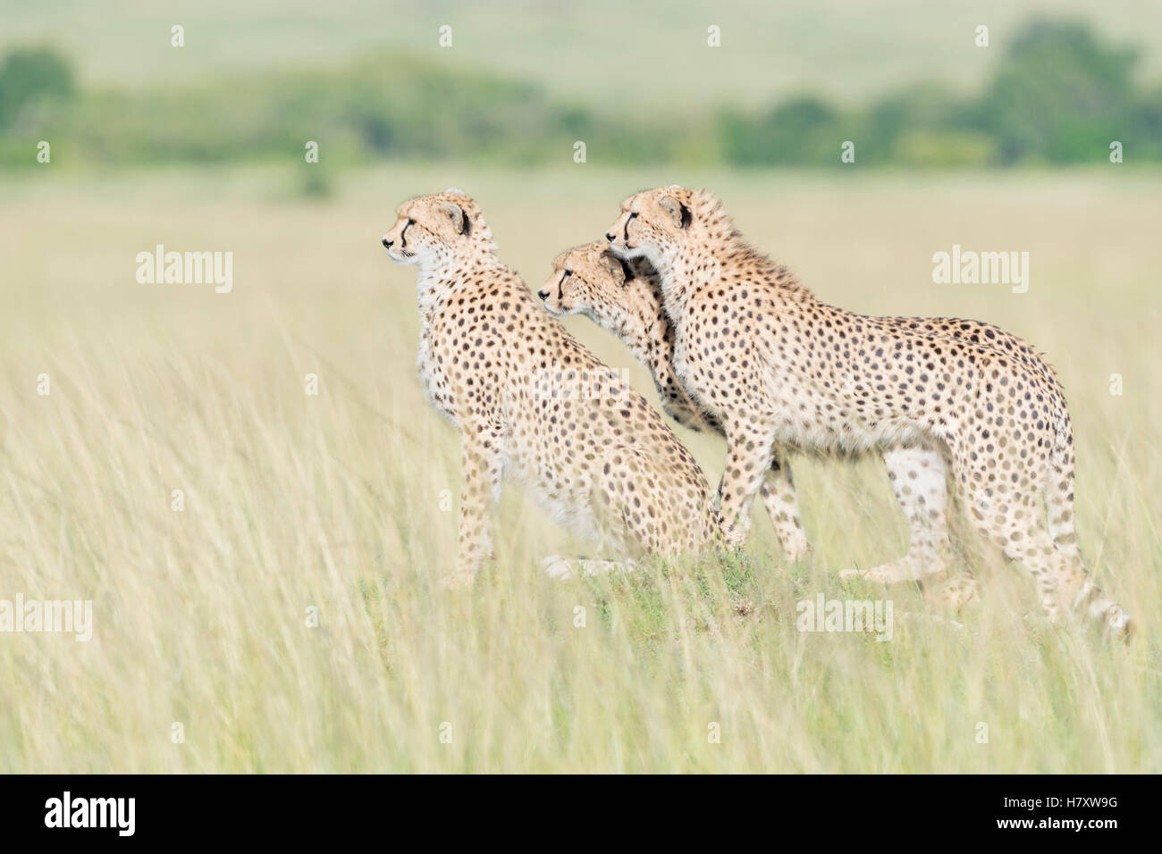 Tre ghepardo (Acinonix jubatus) in piedi sul look out alla savana, il Masai Mara riserva nazionale, Kenya Immagini Stock