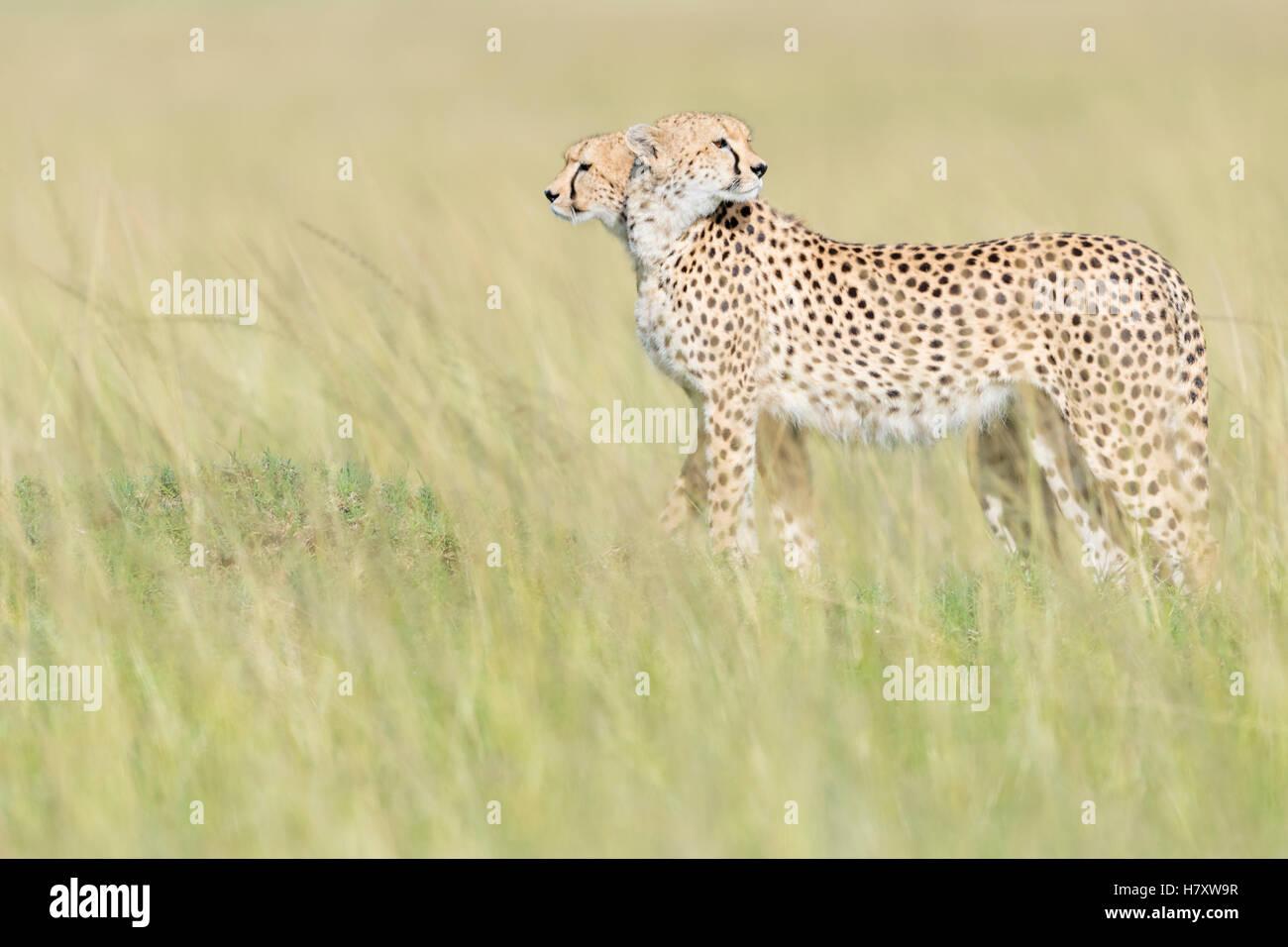 Due ghepardo (Acinonix jubatus) in piedi sul look out alla savana, il Masai Mara riserva nazionale, Kenya Immagini Stock