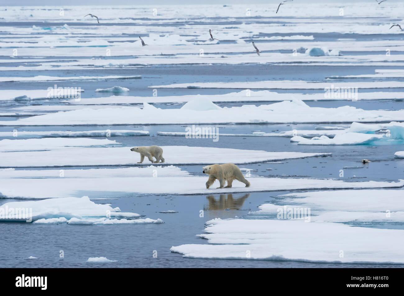Madre di orso polare (Ursus maritimus) con due cuccioli camminare e nuotare su ghiaccio fondente floe, arcipelago Immagini Stock