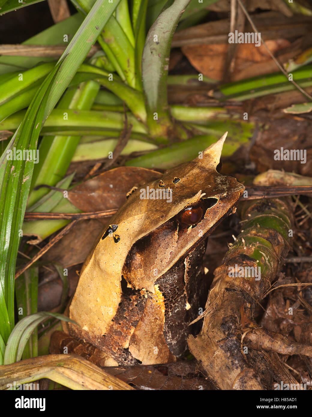 Bornean Rana cornuta (Megophrys nasuta) è mimetizzata contro la figliata di foglia sul suolo della foresta pluviale Foto Stock