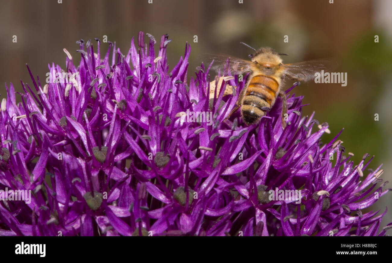 Close up di un ape miele di nettare di estrazione da un mezzo fiore viola di Allium fiore con una profondità Immagini Stock