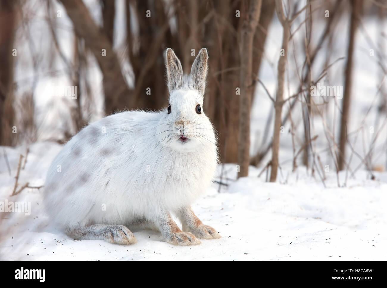 Escursioni con le racchette da neve o lepre variabile lepre (Lepus americanus) in inverno in Canada Immagini Stock