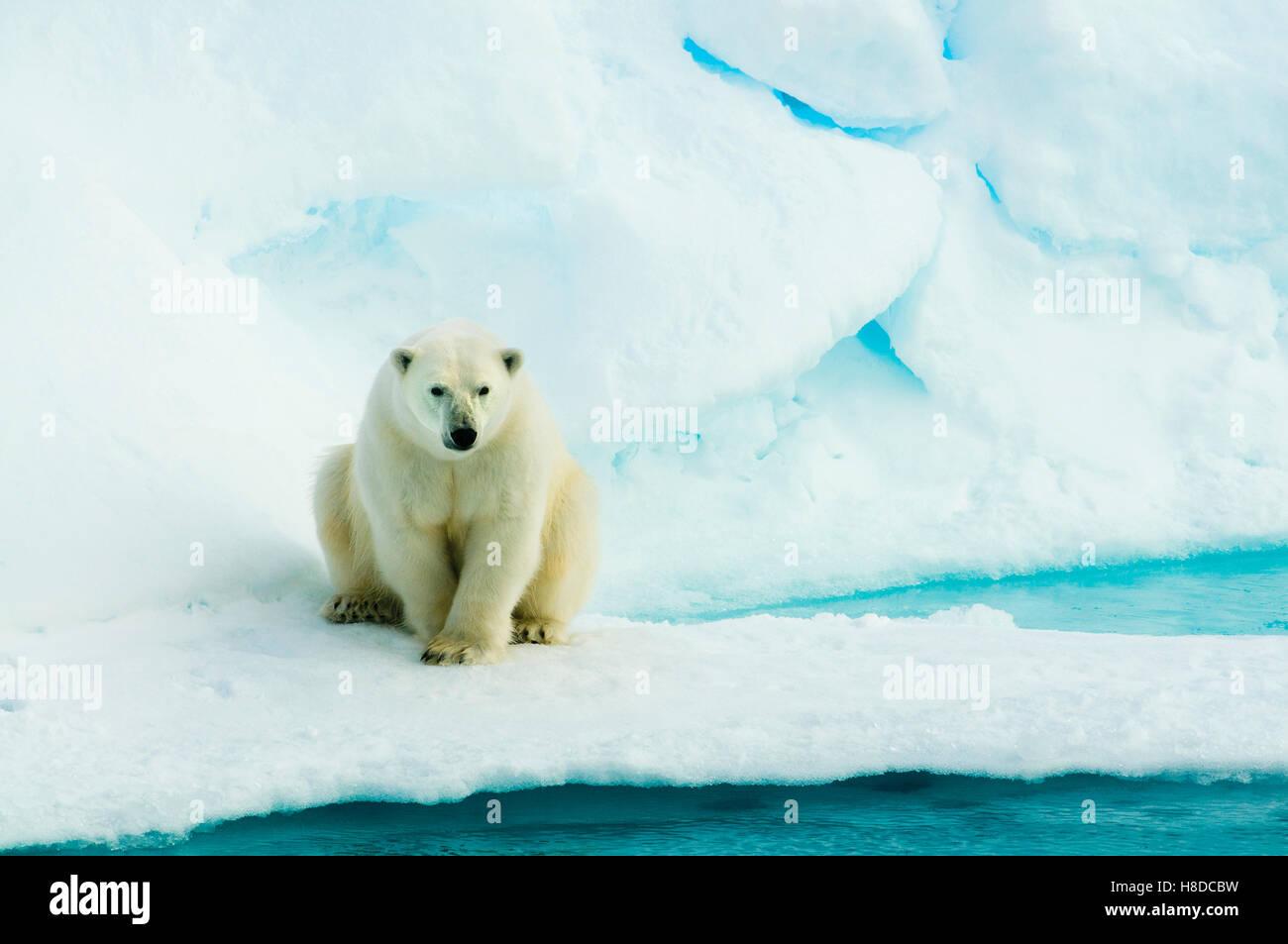 Orso polare (Ursus maritimus) sulla banchisa, Arctic selvatica Immagini Stock
