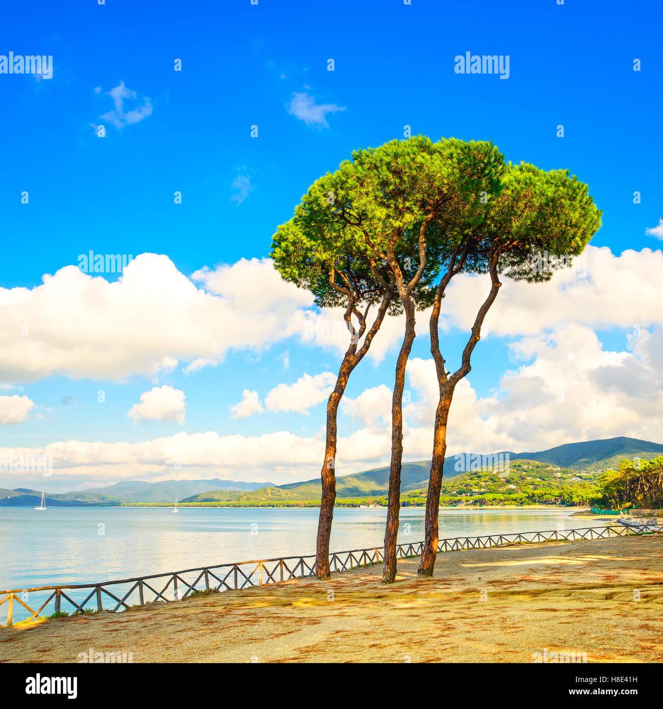 Pino gruppo sulla spiaggia e baia mare sullo sfondo. Punta Ala, Toscana, Italia Immagini Stock