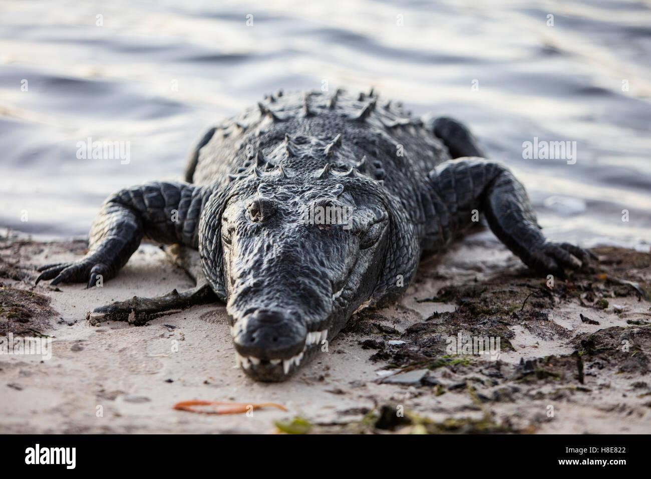 Una grande e potenzialmente pericoloso coccodrillo americano striscia fuori di una laguna poco profonda al largo Immagini Stock
