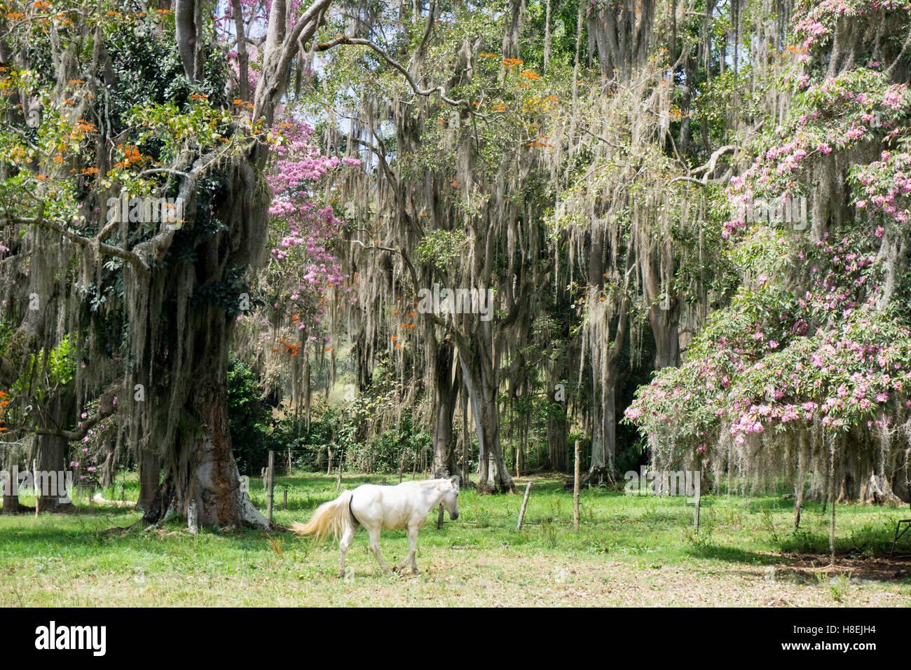 Onirica alberi che crescono nella regione di caffè di Quindio Sito Patrimonio Mondiale dell'UNESCO, Colombia, Immagini Stock