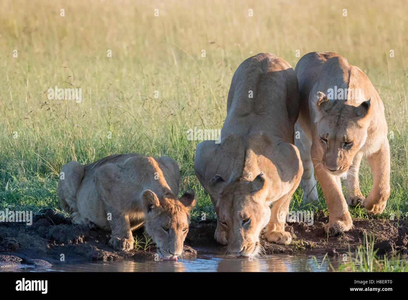 Lionnes (Panthera leo) con i cuccioli di bere a waterhole nella Riserva Nazionale di Masai Mara, Kenya Immagini Stock