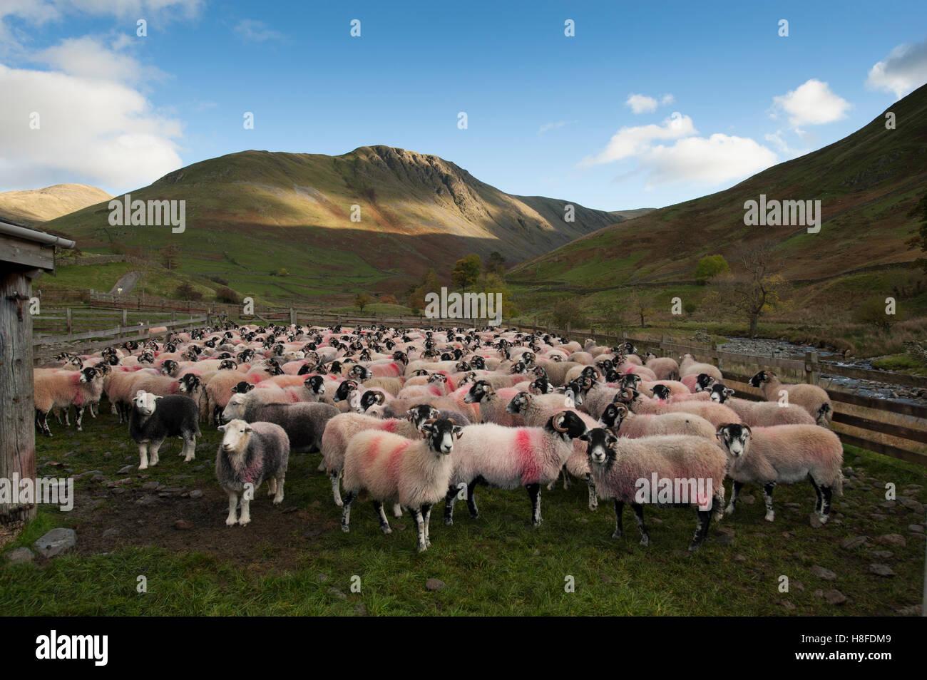 Pecore in una penna di pecora, raccolte di montagne nel Lake District, Cumbria, Regno Unito. Immagini Stock
