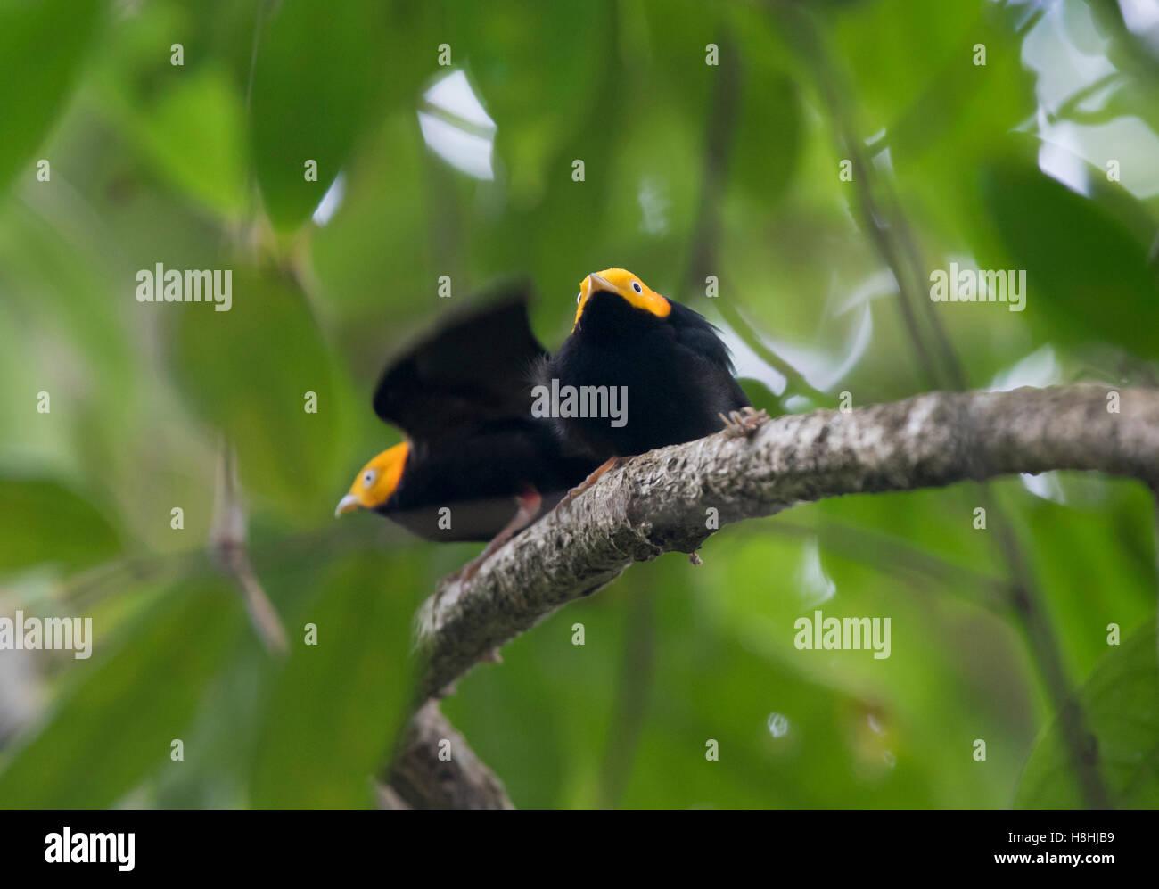 GOLDEN-guidato MANAKIN (Ceratopipra erythrocephala) maschi visualizzando a lek, Darien, Panama Immagini Stock