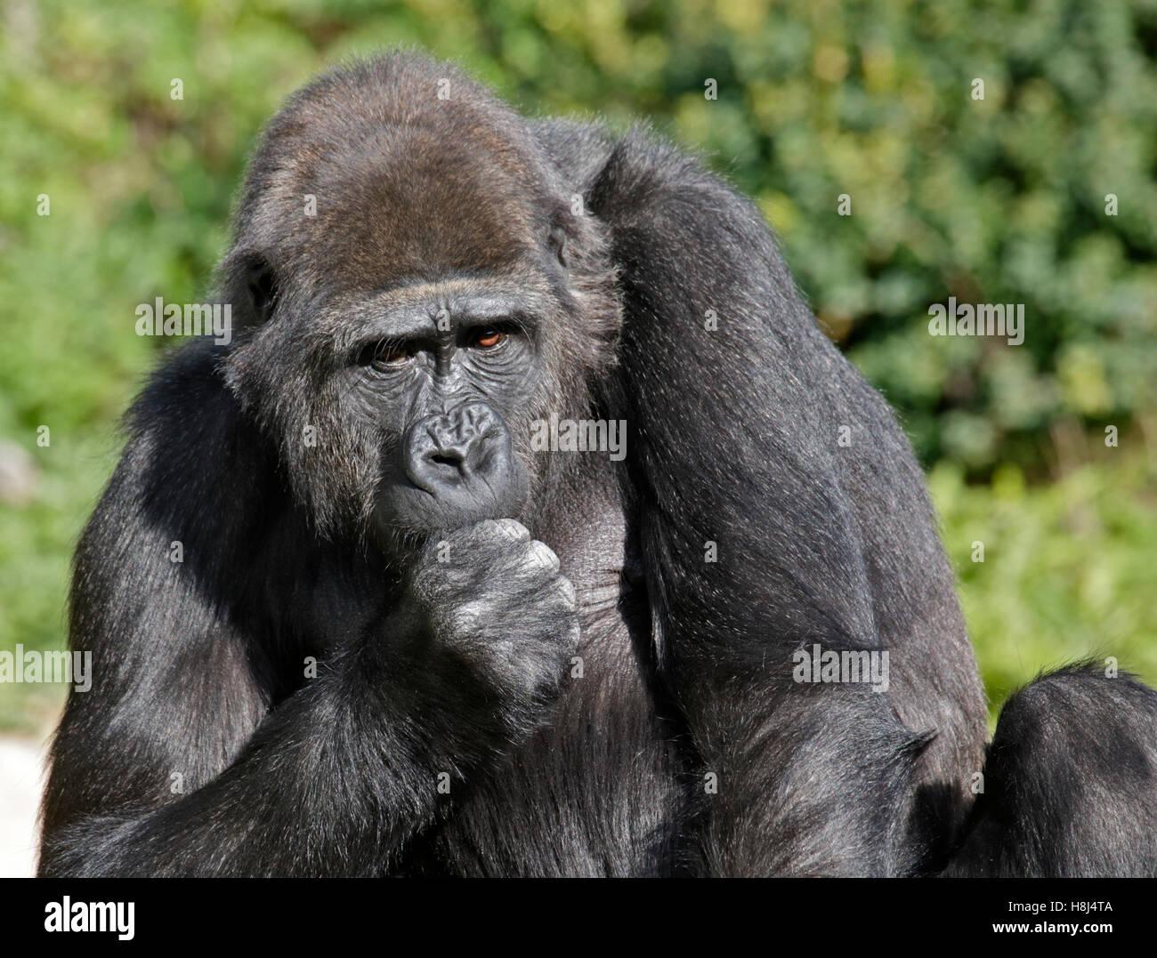 Pianura occidentale (Gorilla gorilla gorilla gorilla) Immagini Stock