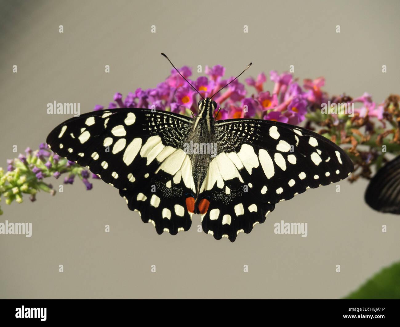 Papilio demoleus - farfalla a coda di rondine Immagini Stock
