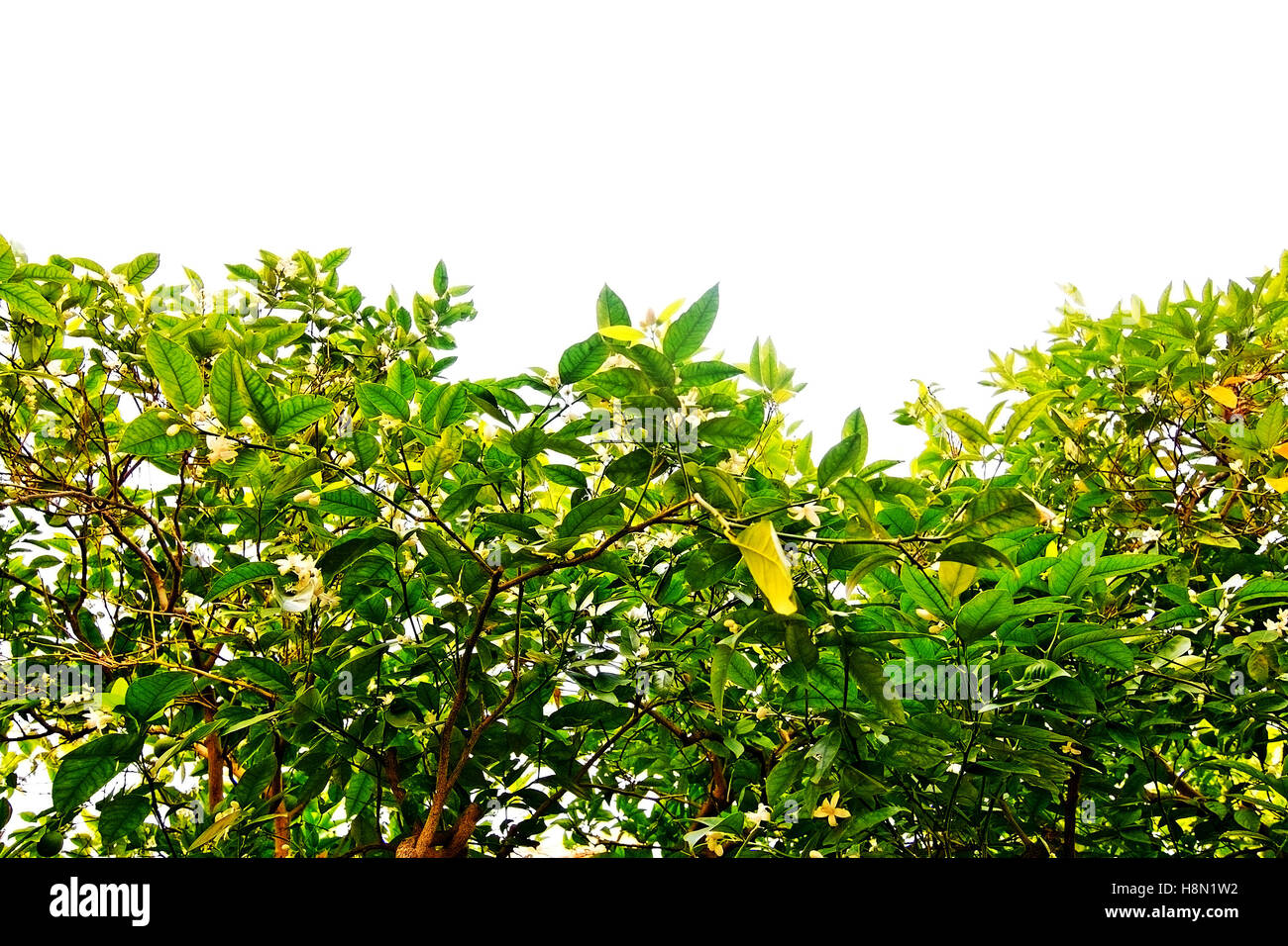 Fiori Bianchi Ottobre.Fiori Bianchi In Pianta Di Limone Su Sfondo Bianco Margine