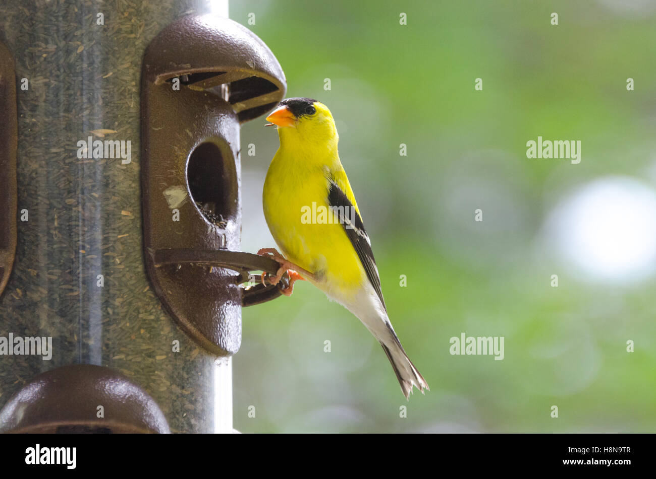 Piccolo Uccello Giallo Immagini Piccolo Uccello Giallo Fotos Stock