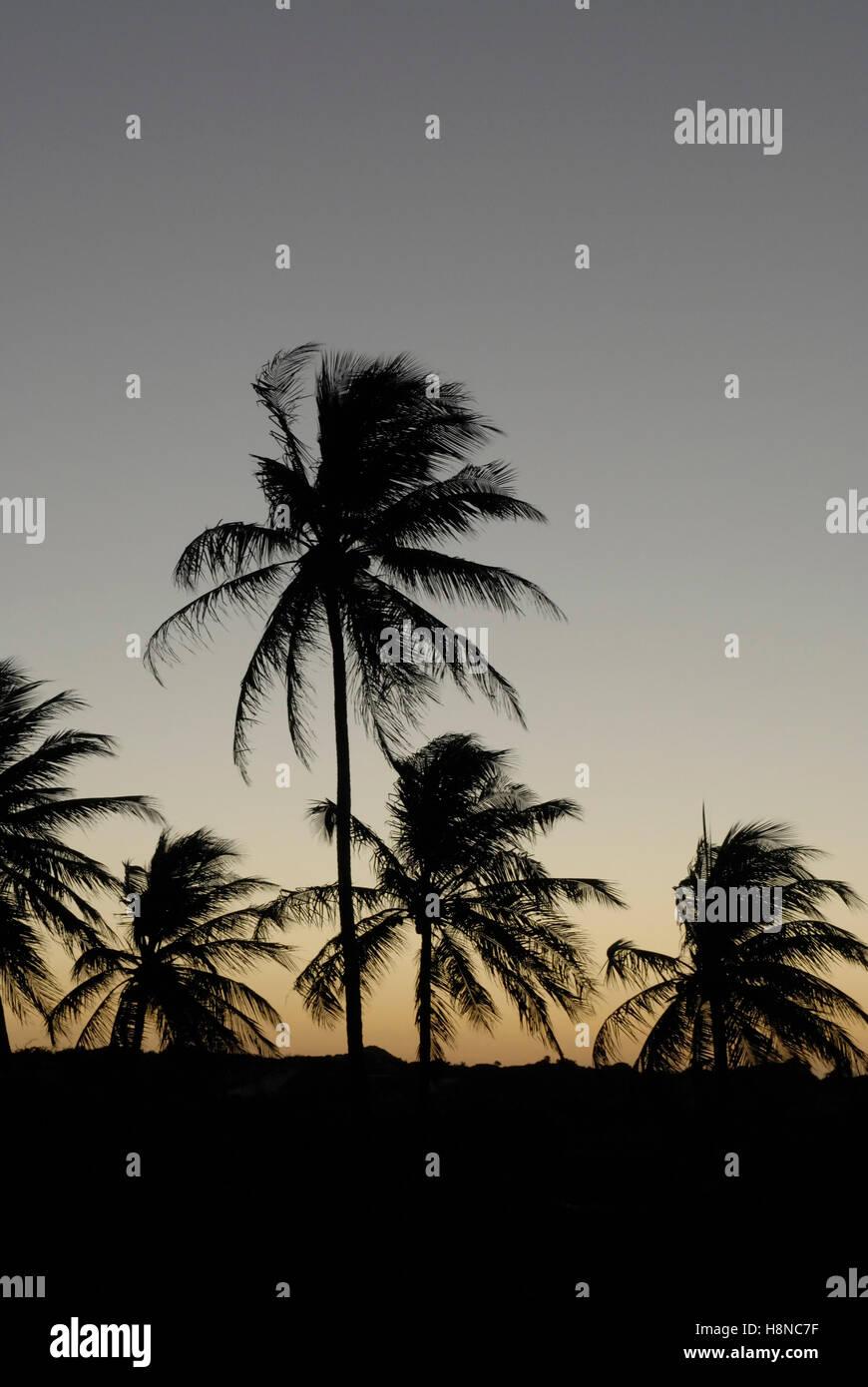 Sihouette di palme da cocco dopo il tramonto Immagini Stock