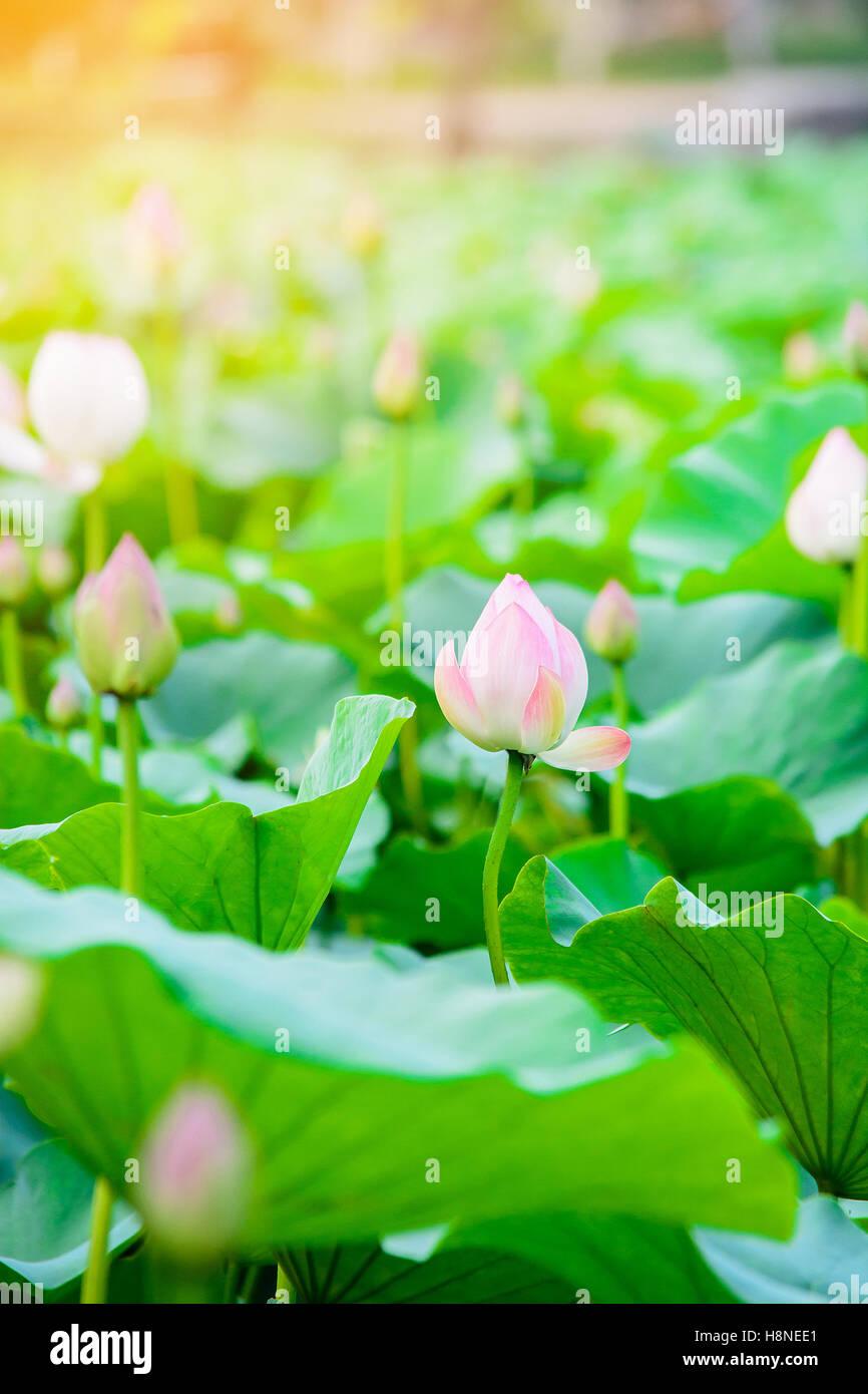 I fiori di loto in stagnolotus flower garden con sun effetto luce i fiori di loto in stagnolotus flower garden con sun effetto lucesfondo naturale concettoil fuoco selettivo con blur in primo piano izmirmasajfo