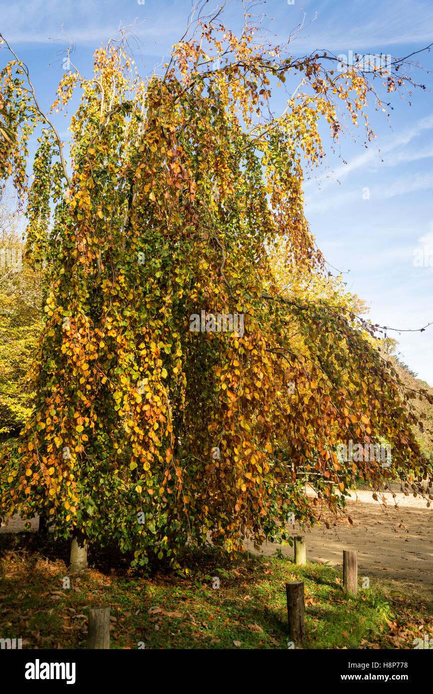 Piangendo tiglio, Box Hill, Surrey, England, Regno Unito Immagini Stock