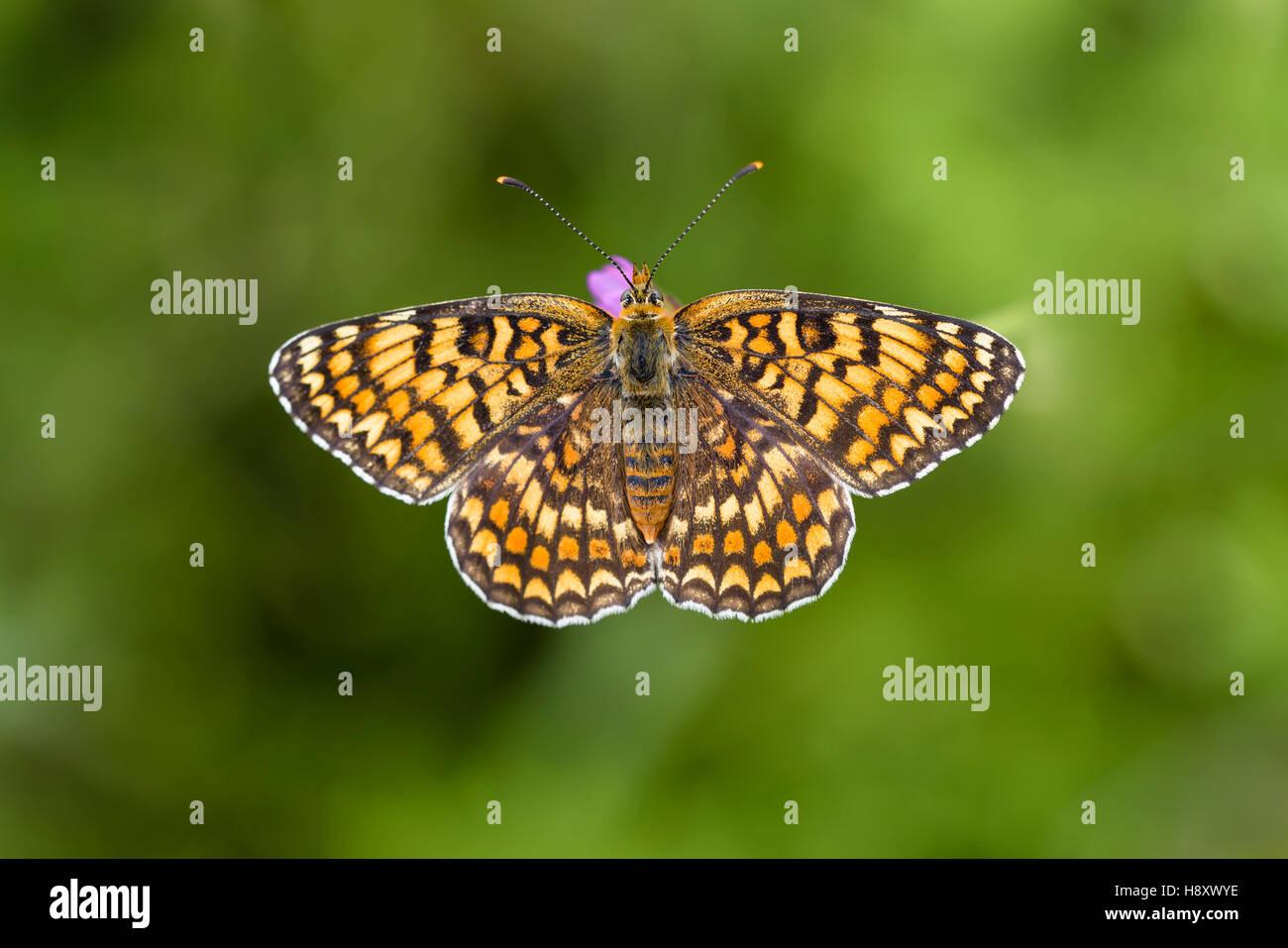 Flockenblumen Scheckenfalter, Melitaea phoebe, Fiordaliso Fritillary Butterfly Immagini Stock