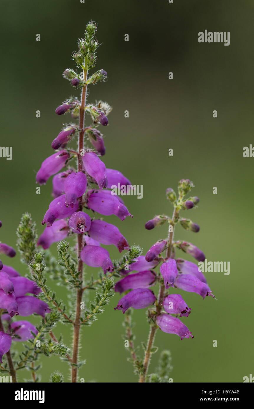 Il Dorset Heath, Erica ciliaris a Hartland Moor, Dorset Immagini Stock