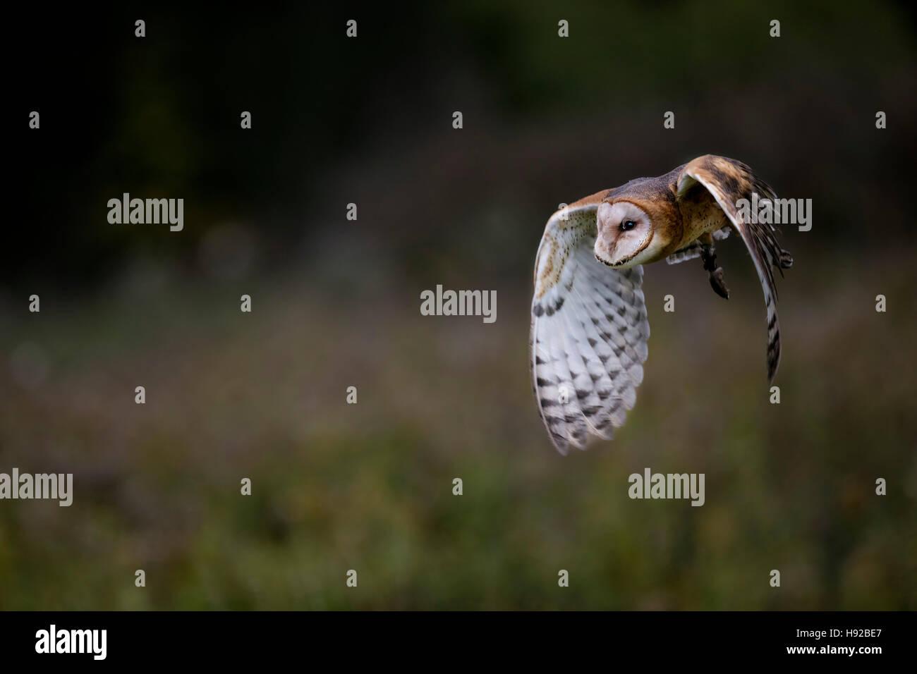 Barbagianni statica e in volo Canadian Raptor Conservancy Immagini Stock