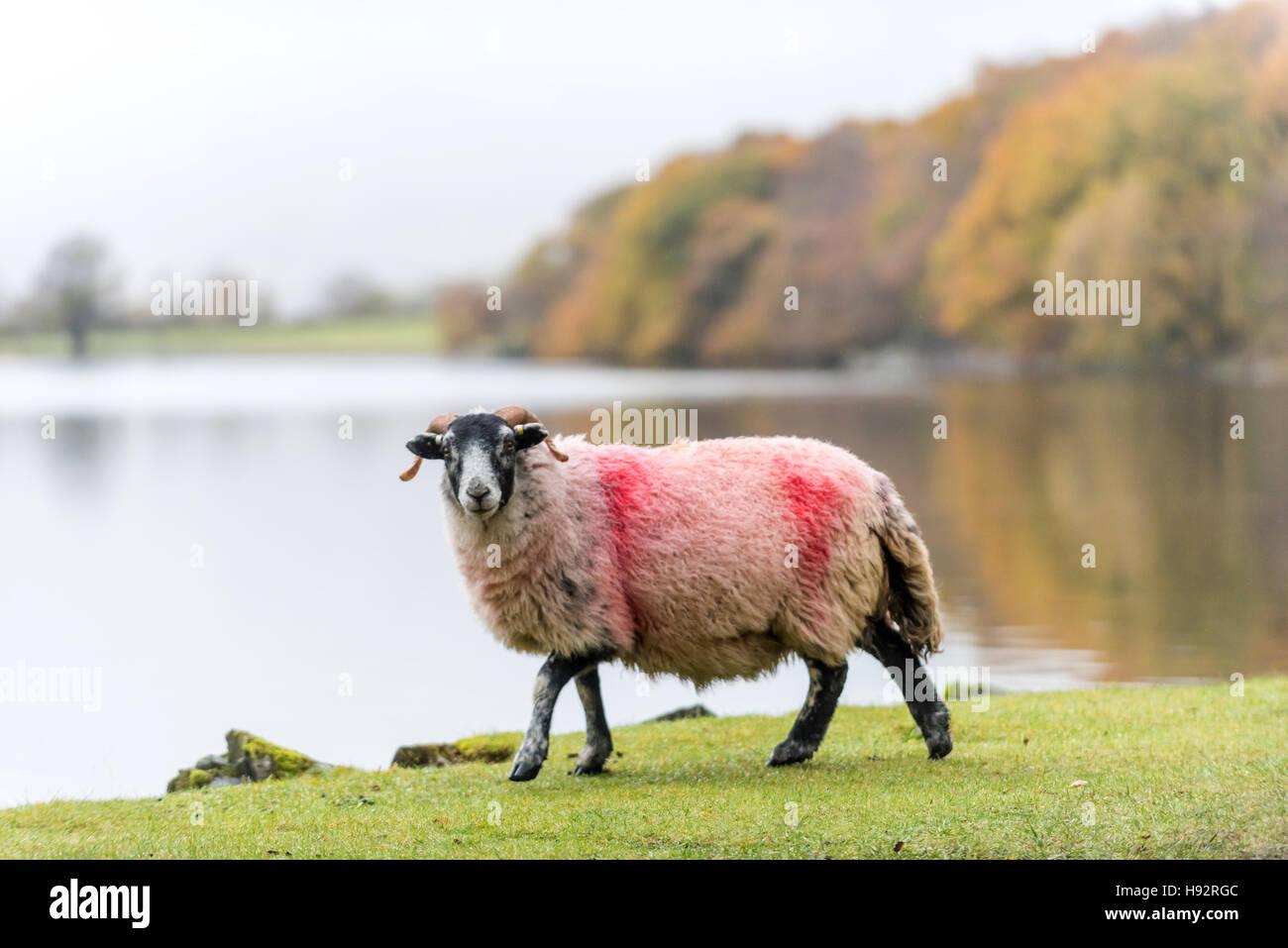 Pecore nel distretto del Lago Immagini Stock