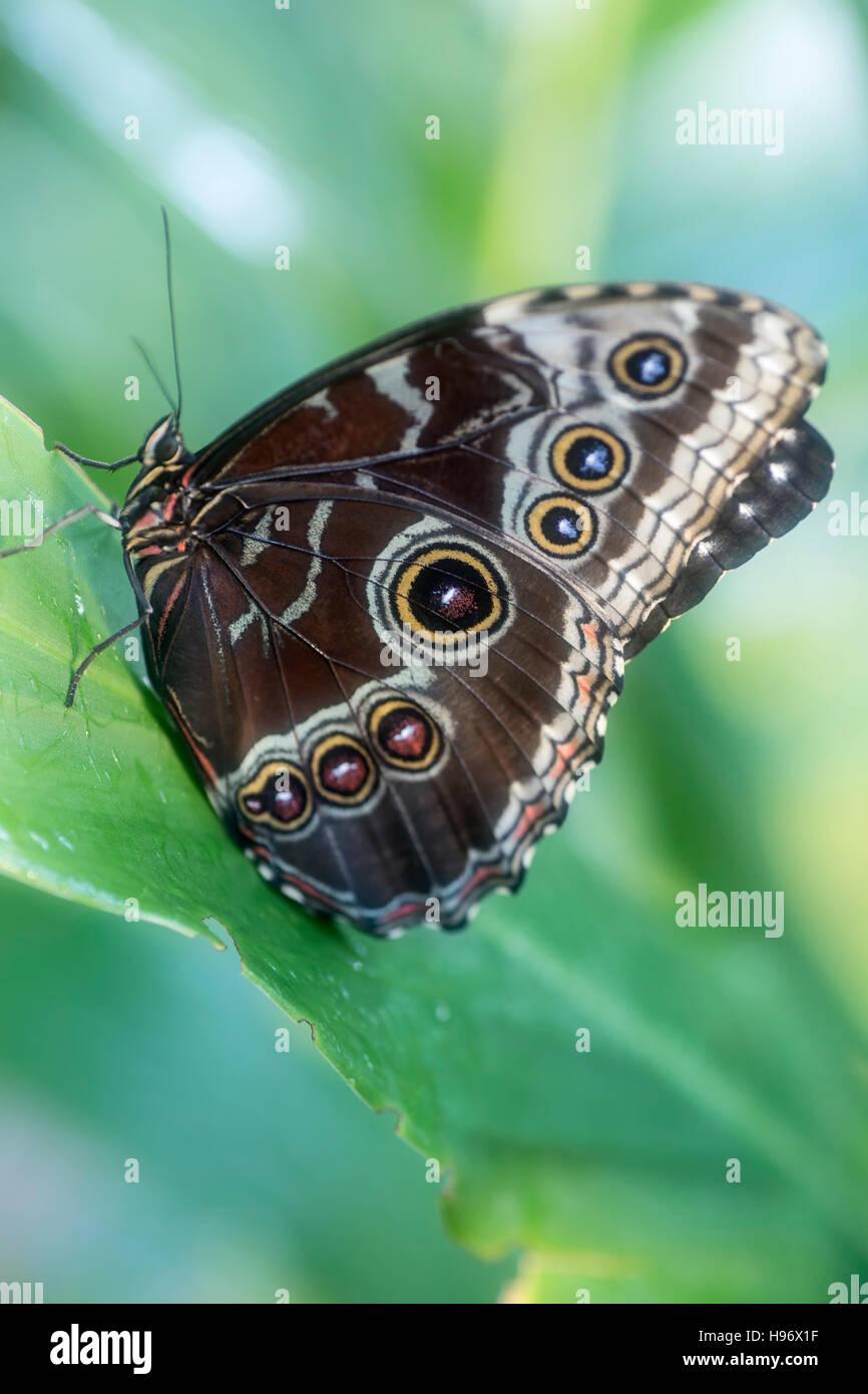 Blue morfo (Morpho peleides) farfalle tropicali, padiglione delle farfalle, Westminster (Area di Denver), Colorado, Immagini Stock