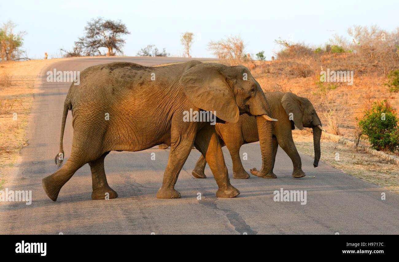 Due elefanti attraversare una strada nel Parco Nazionale di Kruger in Sud Africa sotto il bagliore del sole del Immagini Stock
