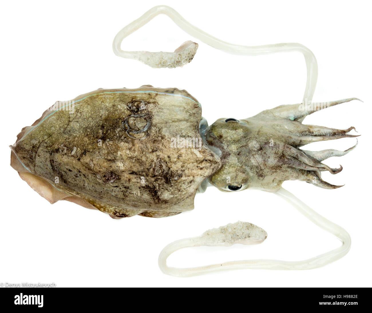 I calamari freschi è pronto per essere cucinato. Direttamente dal mare profondo al vostro tavolo da pranzo. Immagini Stock