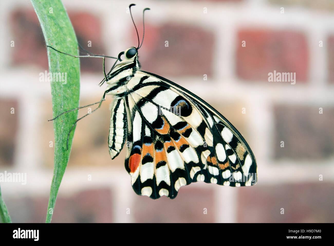 Close-up di underwing di calce butterfly (Papilio demoleus) su una foglia contro uno sfondo sfocato Immagini Stock
