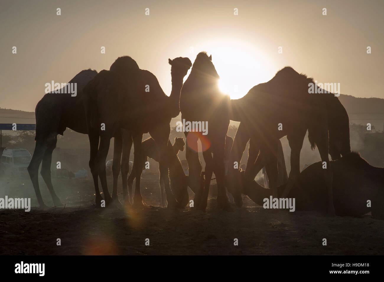 Cammelli al tramonto il Camel Fair in Pushkar Rajasthan in India Foto Stock