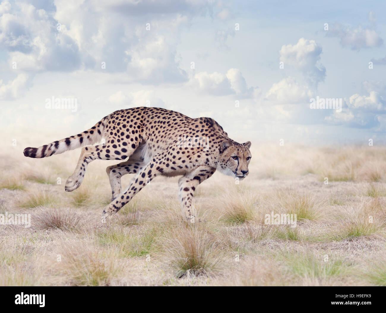 Cheetah in esecuzione nella prateria Immagini Stock