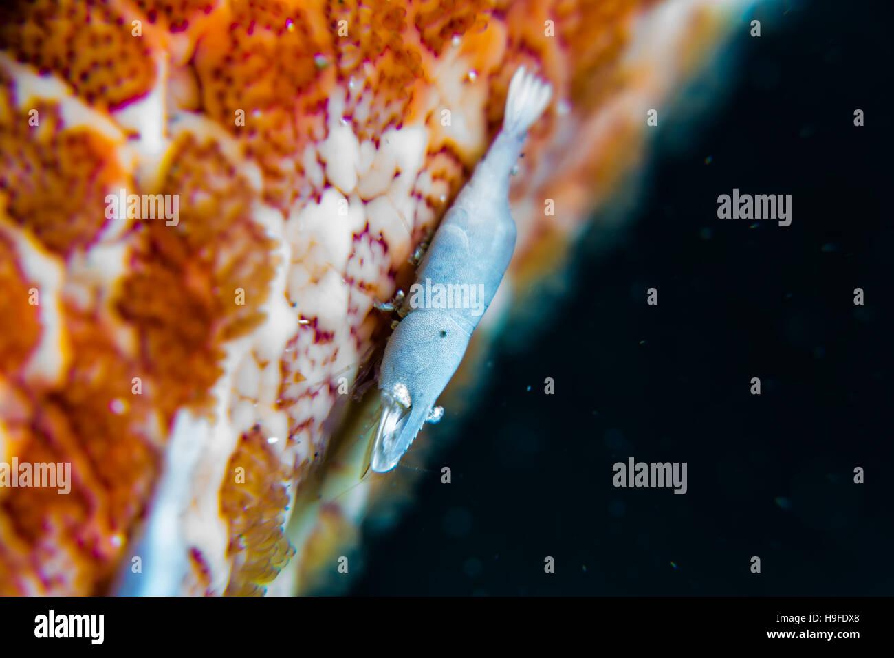 Un piccolo gamberetto commensale, Zenopontonia soror (Nobili, 1904) , sul braccio di grandi stelle marine. Profondità Immagini Stock