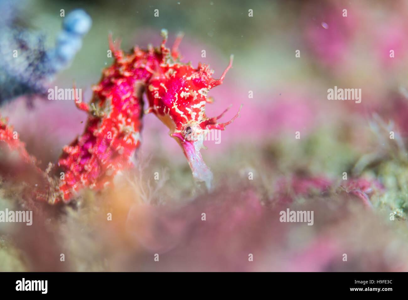 Shiho il cavalluccio marino Hippocampus sindonis Jordan & Snyder, 190, al pesce artificiale reef. Owase, Mie, Immagini Stock
