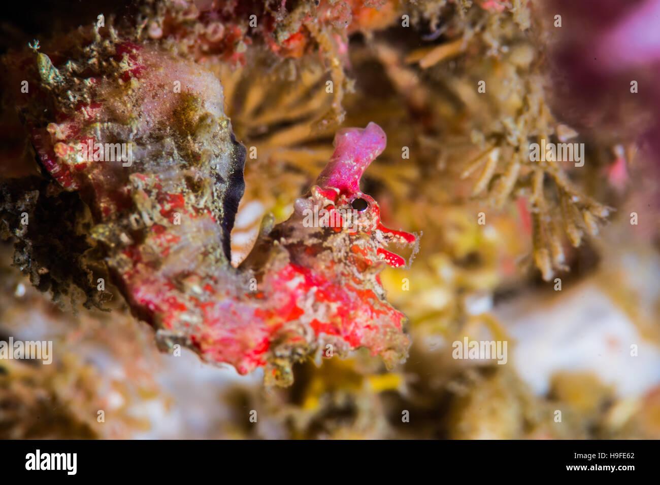 Shiho il cavalluccio marino Hippocampus sindonis Jordan & Snyder, 190, a Owase, Mie, Giappone. Profondità Immagini Stock