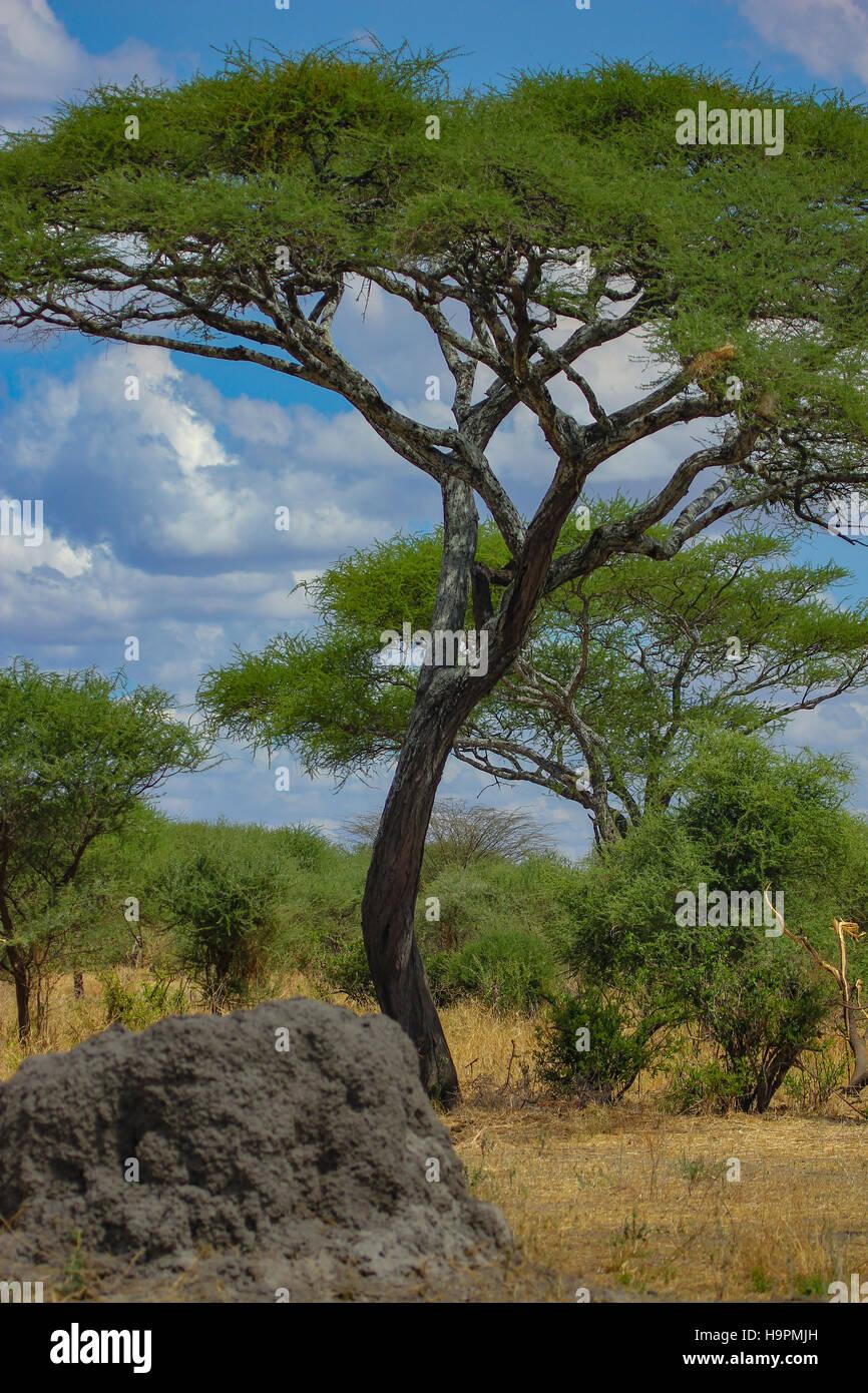 Torreggianti alberi di acacia sulle pianure del Serengeti in Tanzania, con terrmite hill in primo piano Immagini Stock