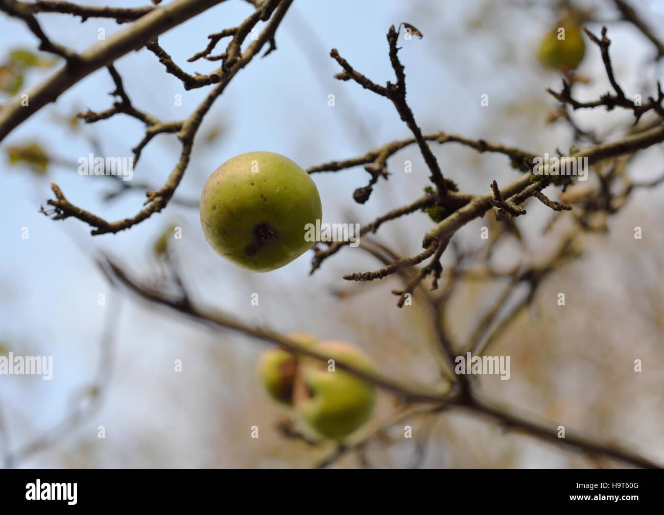 Mele sull'albero Immagini Stock