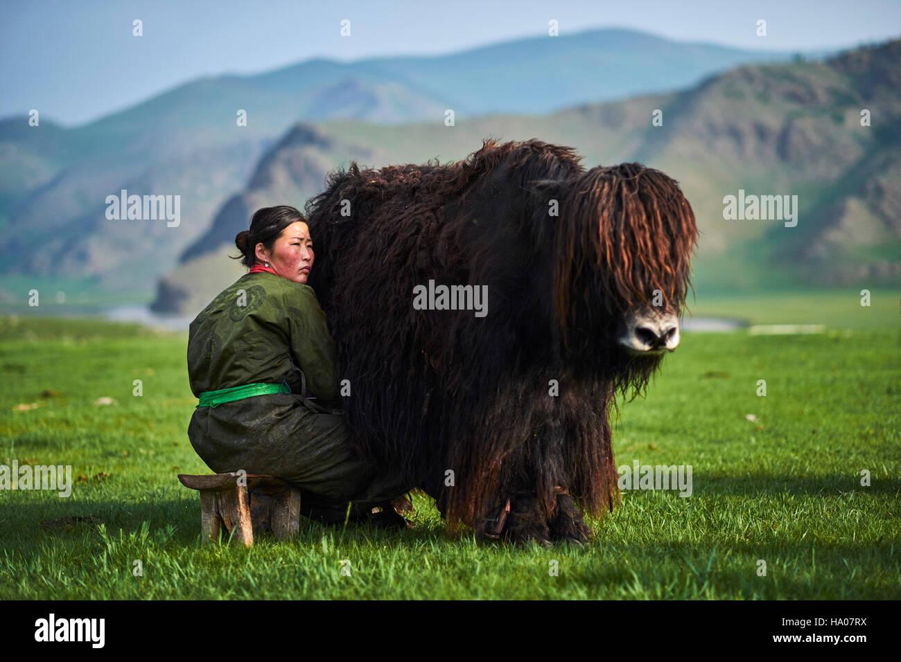 Mongolia, Ovorkhangai provincia, Orkhon valley, campo nomadi, yak mungitura Immagini Stock