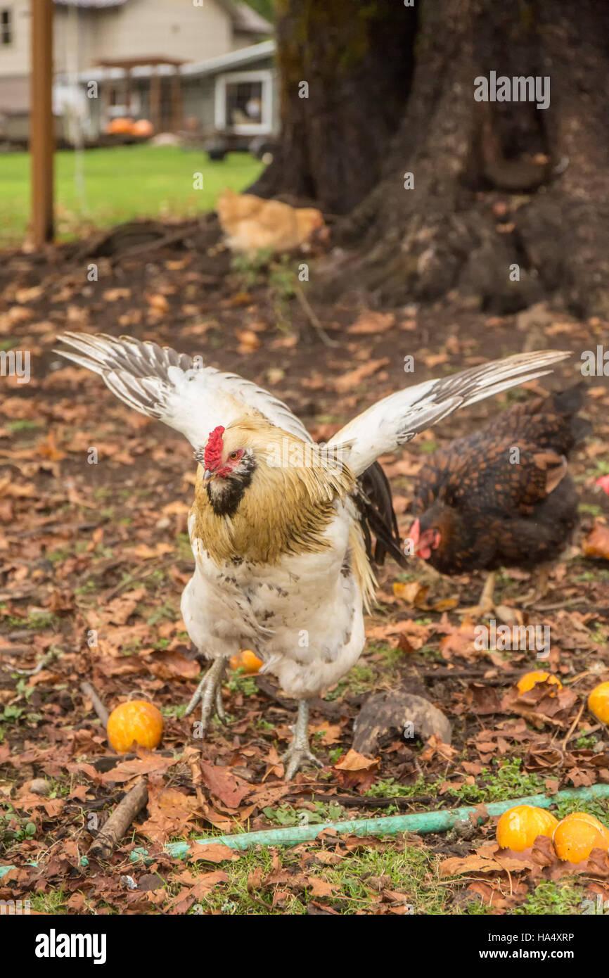 Free-ranging Amercauna rooster con ali, circa ad accoppiarsi in Issaquah, Washington, Stati Uniti d'America. Immagini Stock