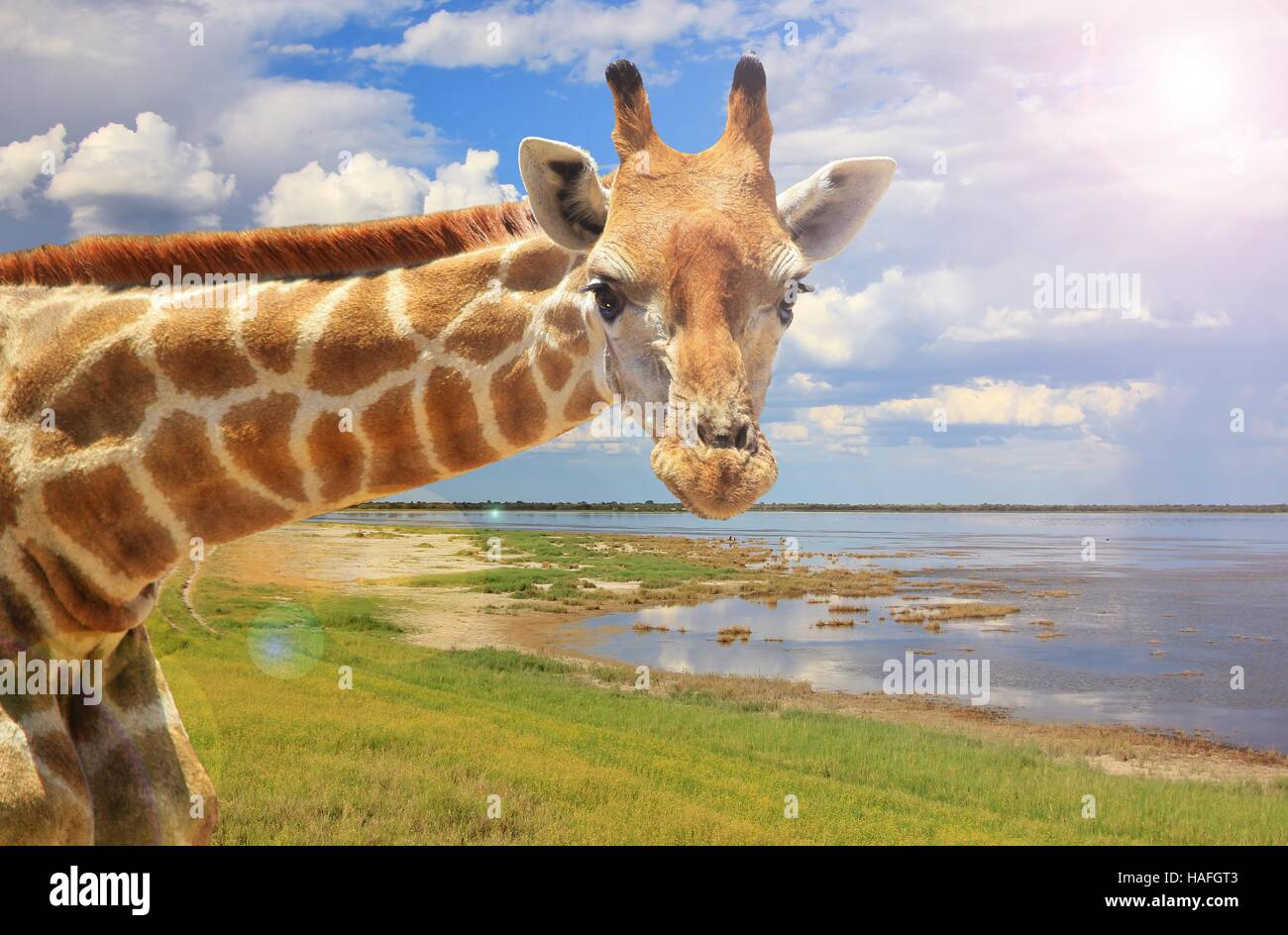 Giraffa - fauna africana nel selvaggio - Immagini Stock