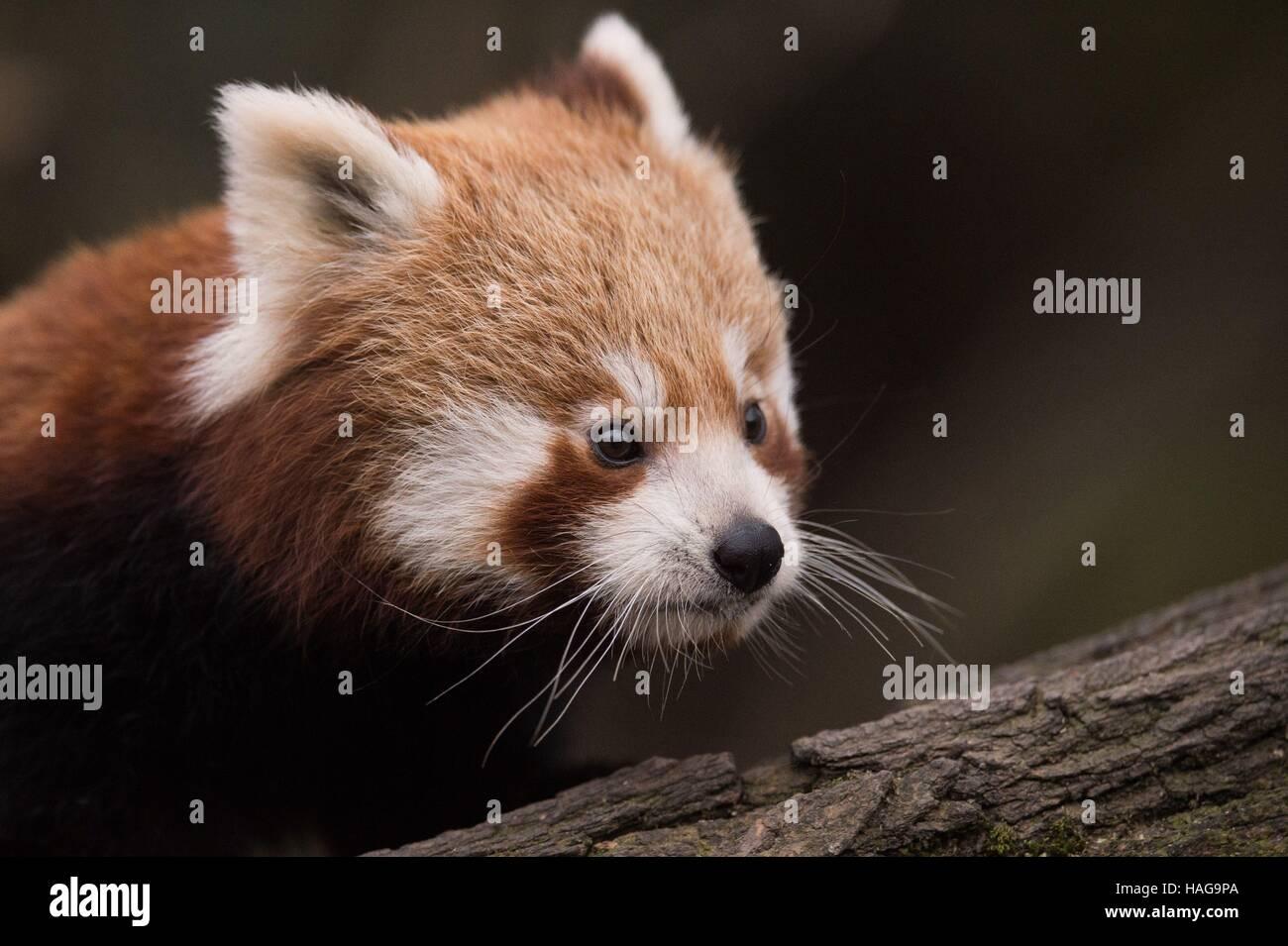 Dresden, Germania. 30 Novembre, 2016. Un panda rosso baby sorge nella sua gabbia allo zoo di Dresda, Germania, 30 Immagini Stock