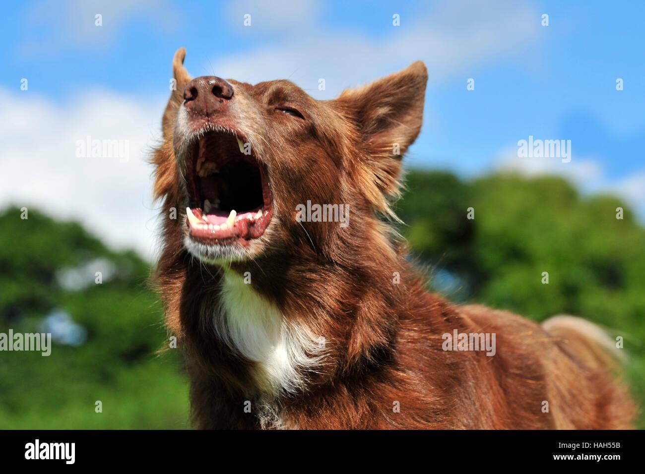 Border Collie, rosso, barking Immagini Stock