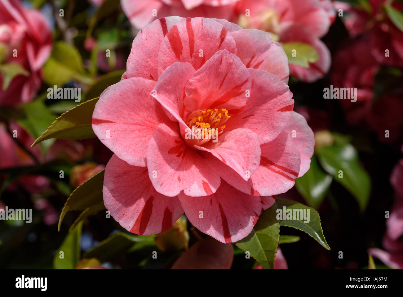 Le variegate Pink Camellia fiore in giardino Immagini Stock