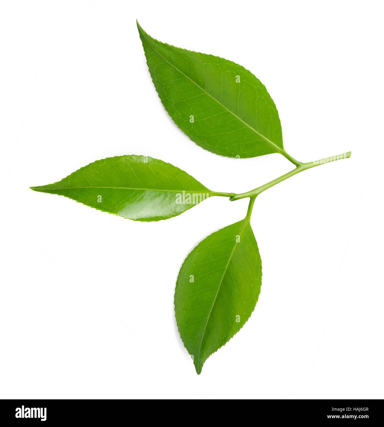 Il tè di ciuffo isolato su sfondo bianco Immagini Stock