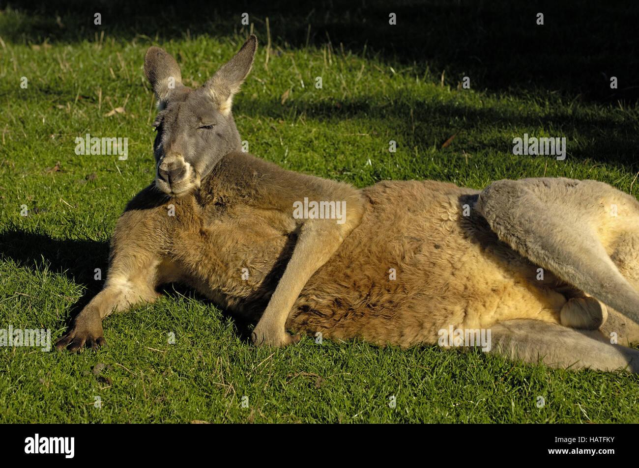 Canguro gigante Immagini Stock