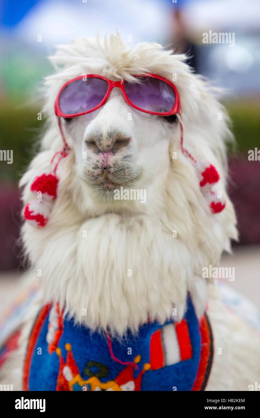 l'atteggiamento migliore 7db78 8e42a Lama Bianca indossando occhiali da sole e una sciarpa ...