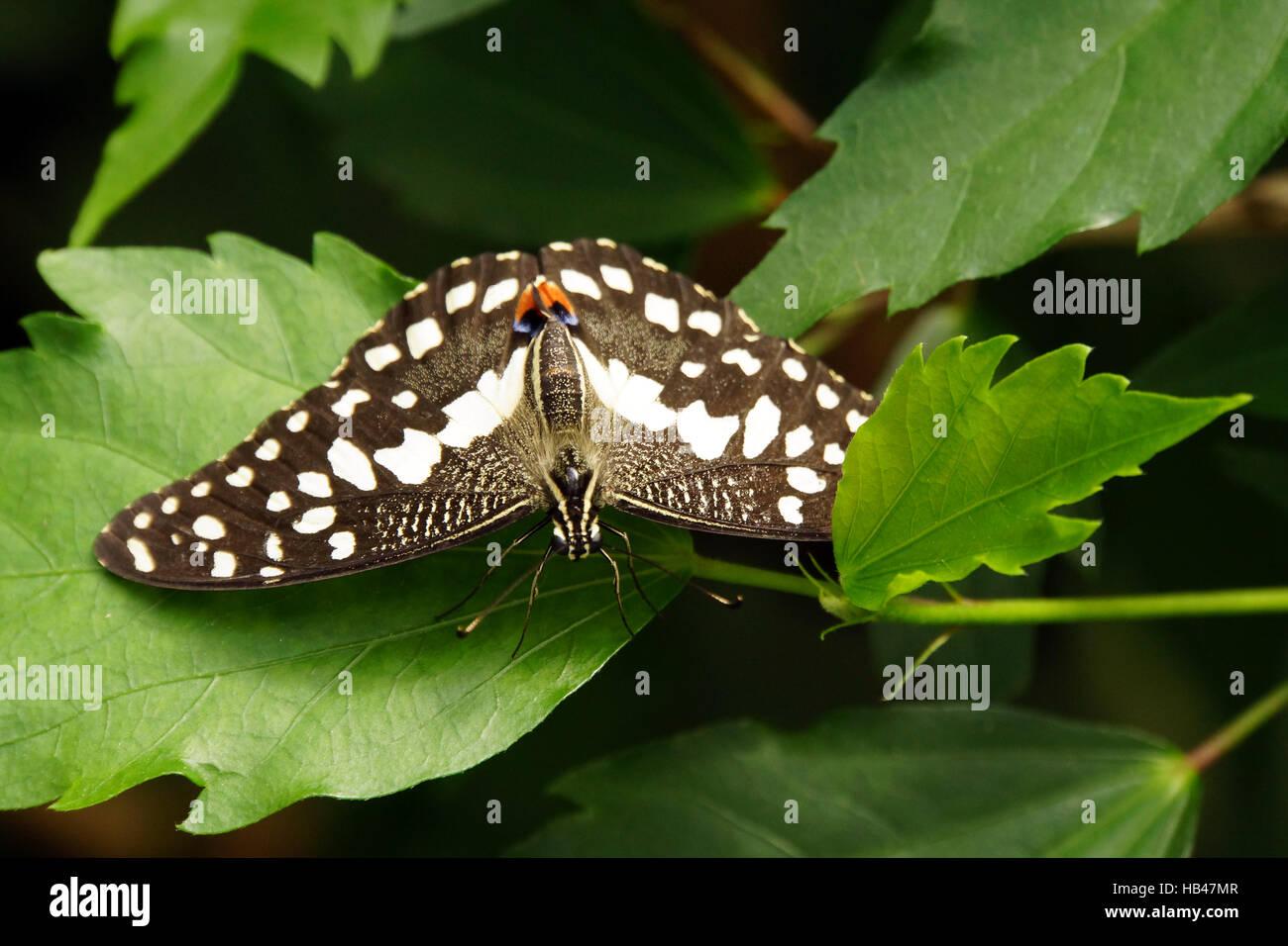 Papilio demoleus Immagini Stock