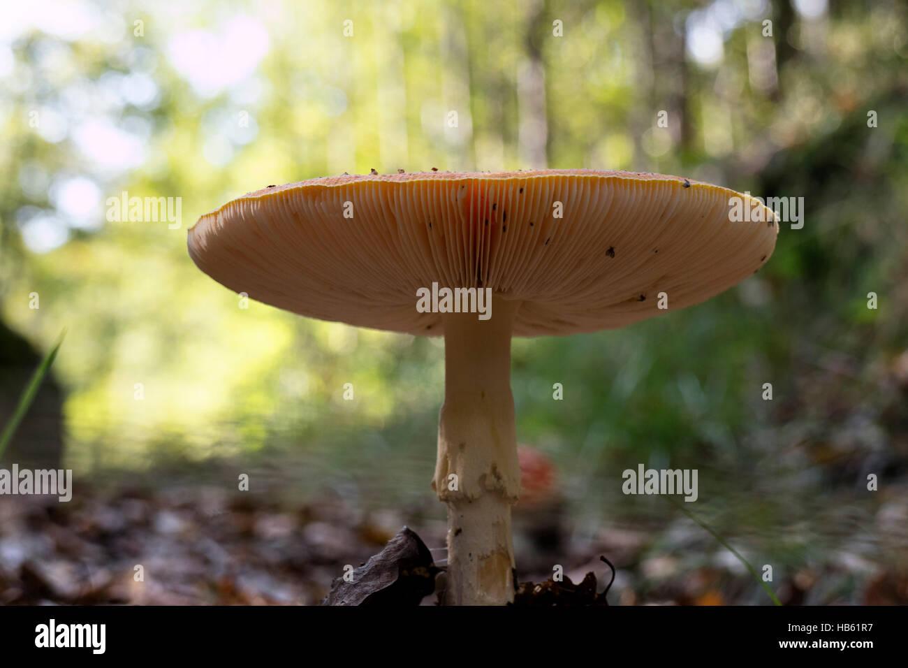 Fungo Amanita cofano visto dal di sotto vicino fino Immagini Stock