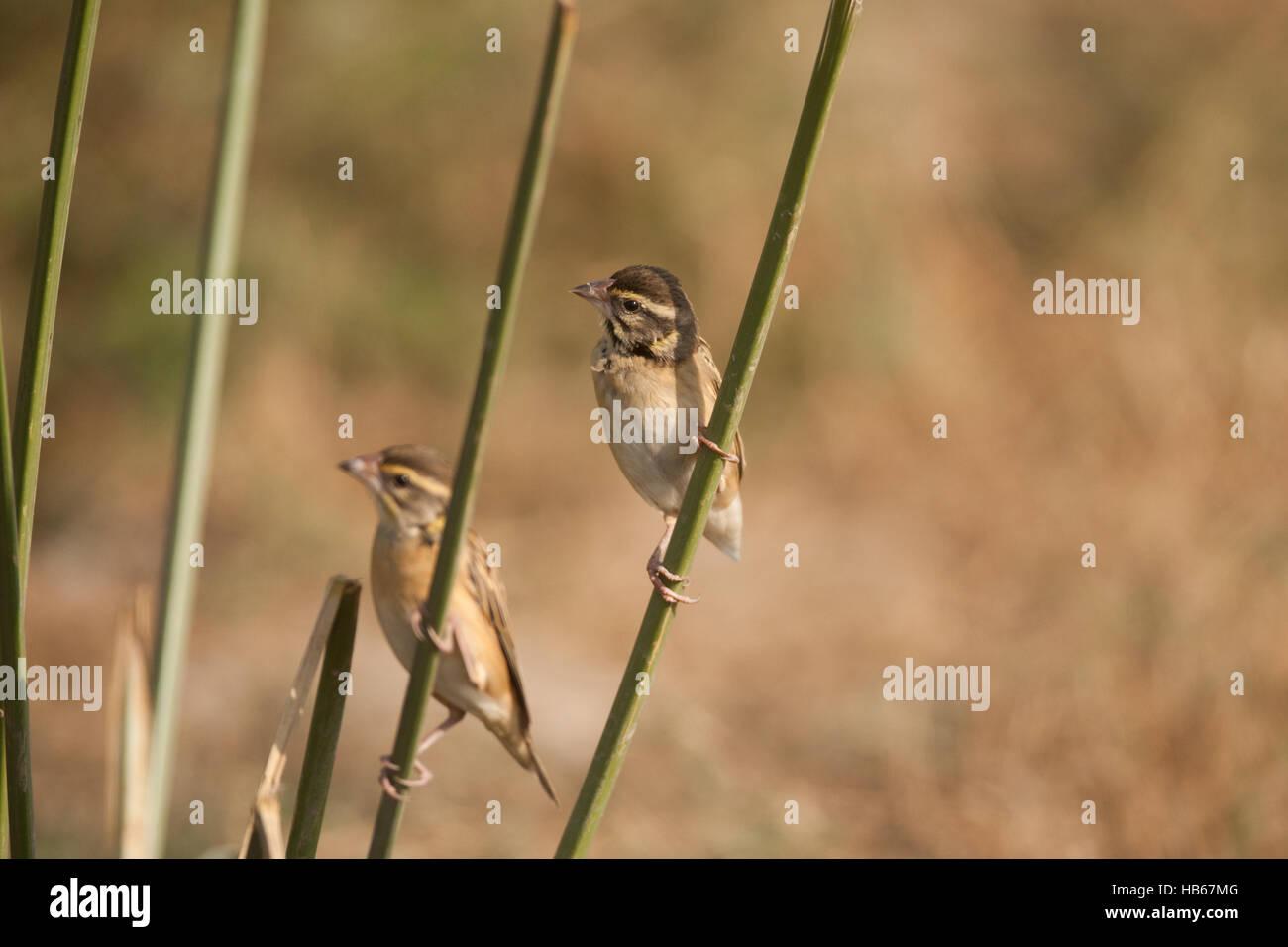 Striature Weaver posatoi su un delicato ramo di erba in Basai , Haryana Immagini Stock