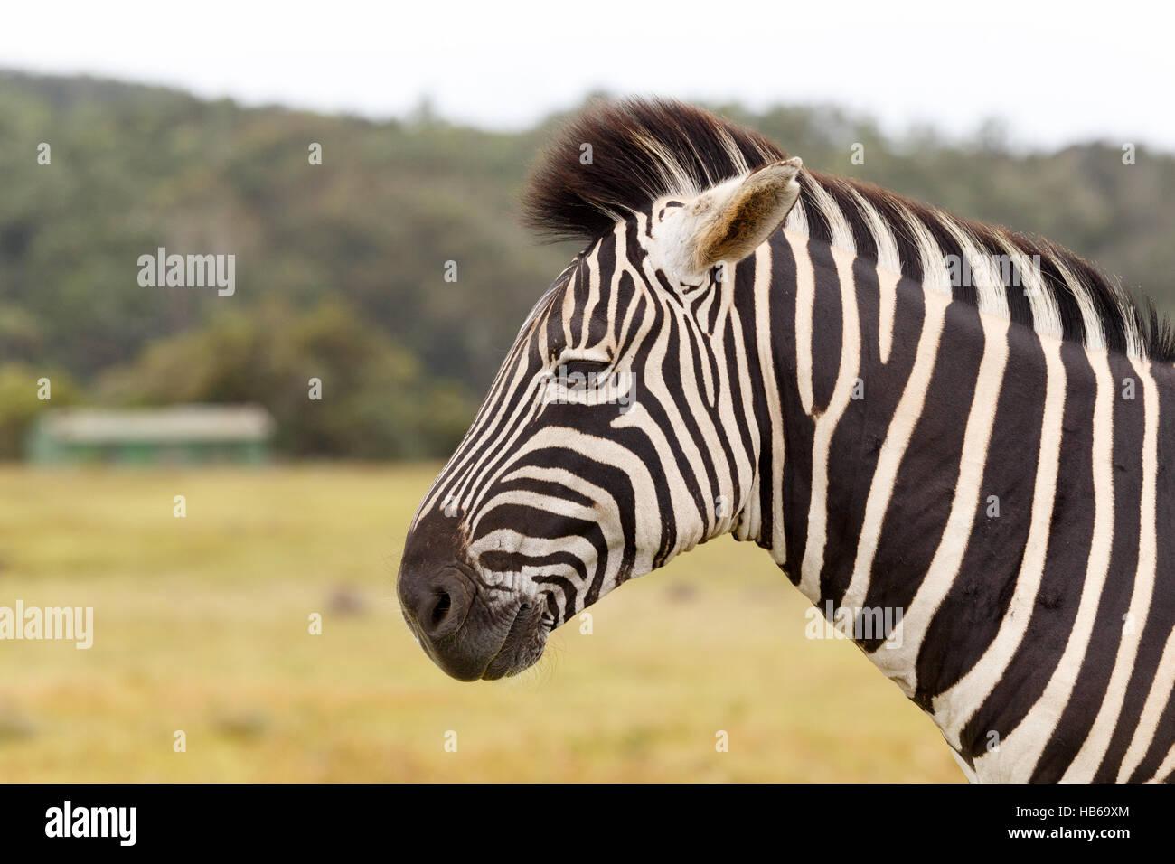 La Burchell Zebra Immagini Stock