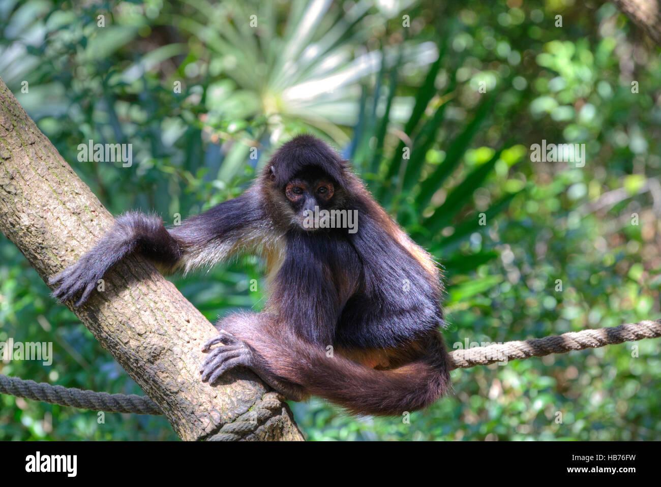 Spider Monkey (Latin-Ateles fusciceps), il Belize Zoo, vicino a Città del Belize, Belize Immagini Stock